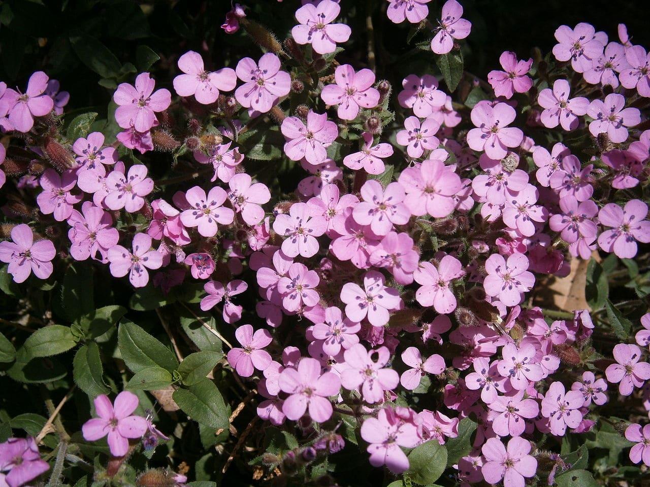 Vista de la saponaria en flor