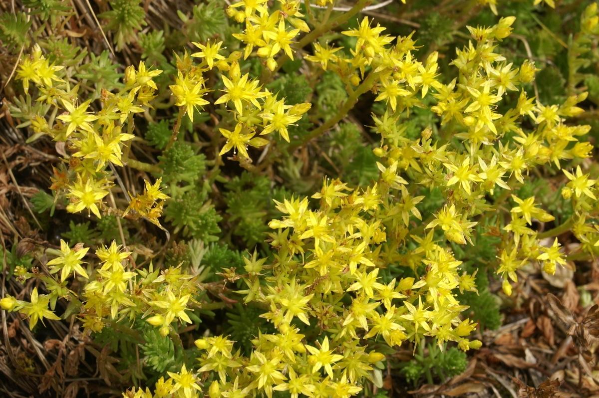 Vista del Sedum acre en flor