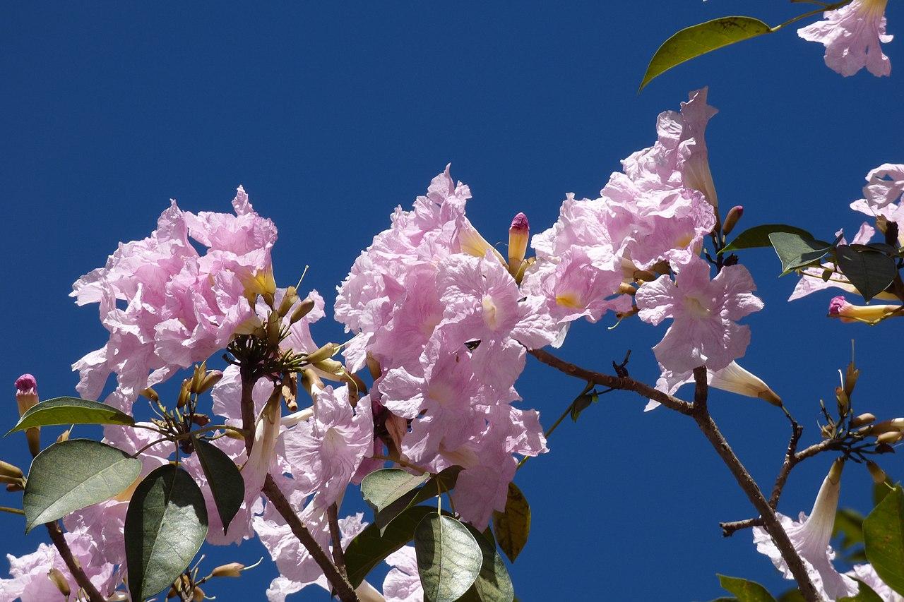 Vista de la Tabebuia rosea en flor