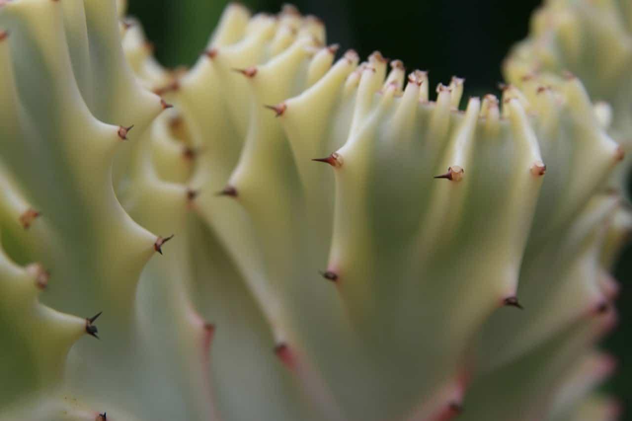 Vista de la Euphorbia lactea f cristata