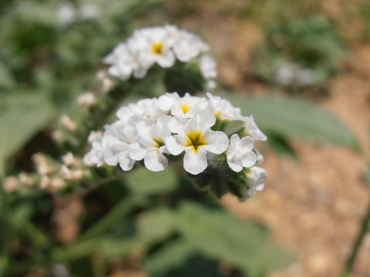Flores de la verrucaria