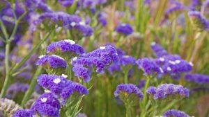 Flores del Limonium sinuatum