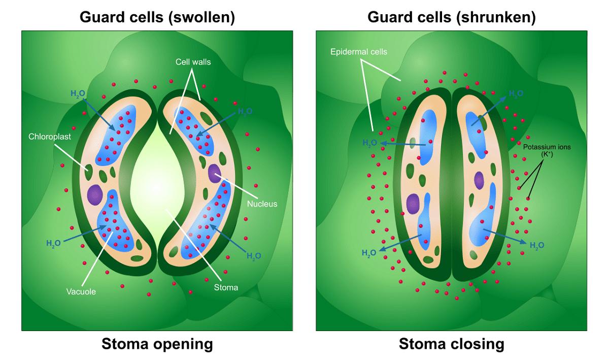 Función de orgánulos de la planta