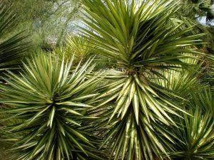 Hojas de la Yucca aloifolia