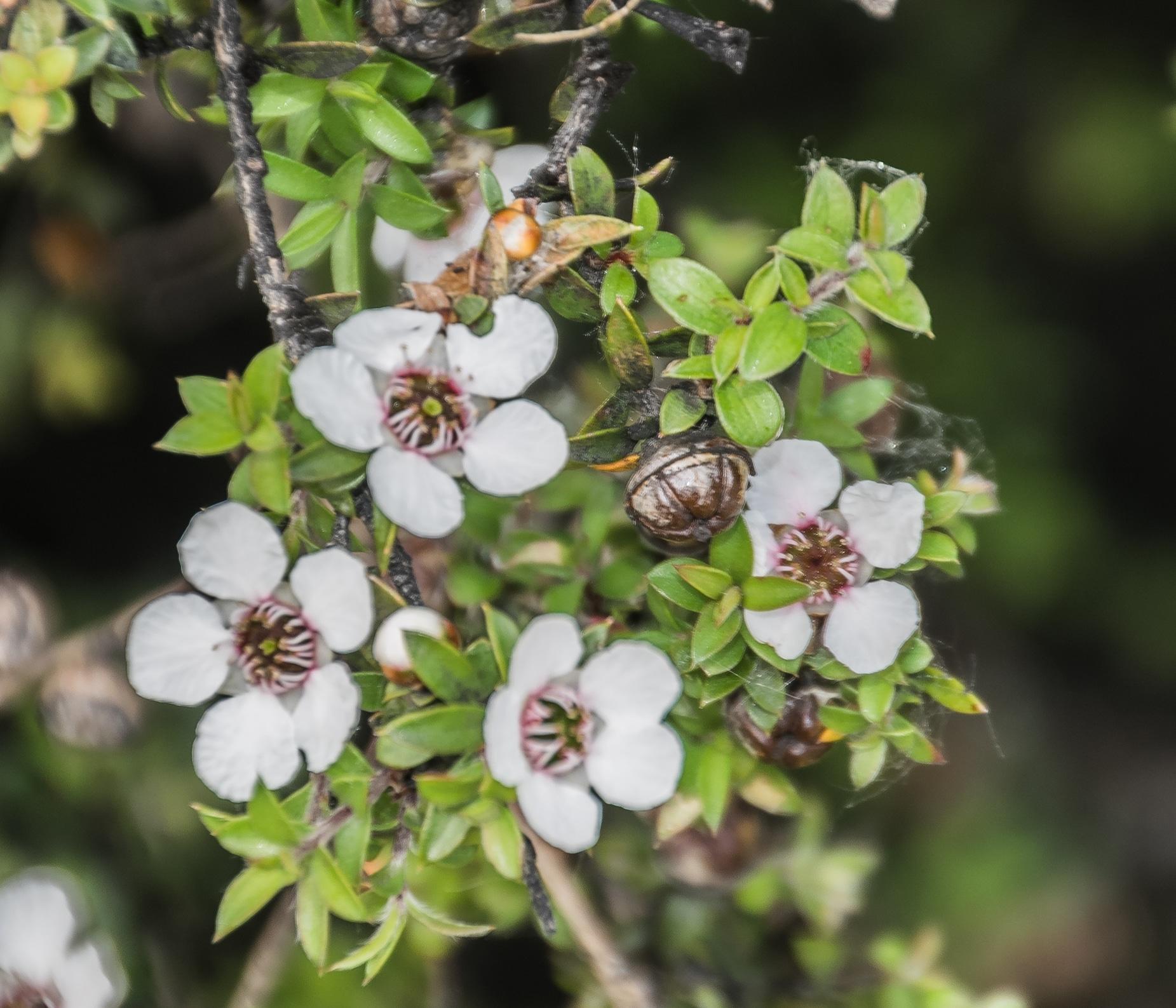 Vista del Leptospermum scoparium