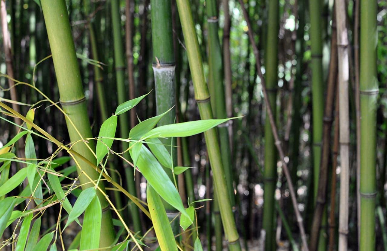 Vista del bambú