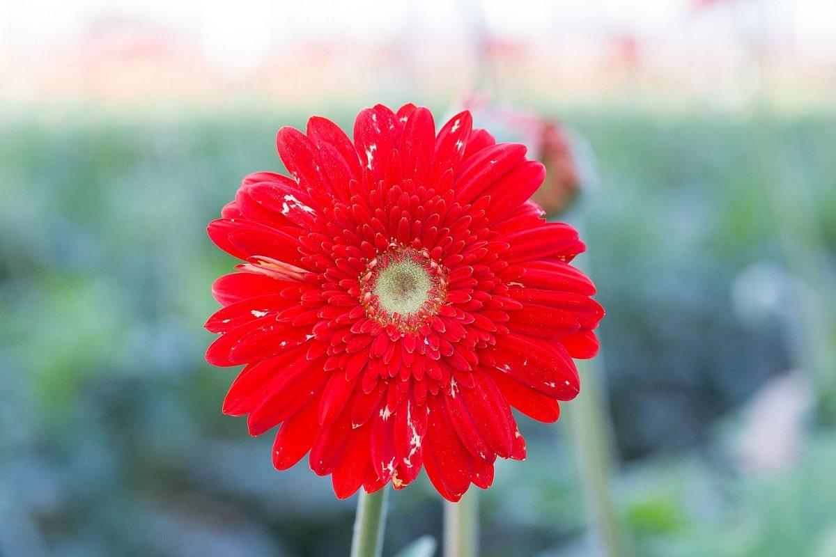 Trips occidental de las flores