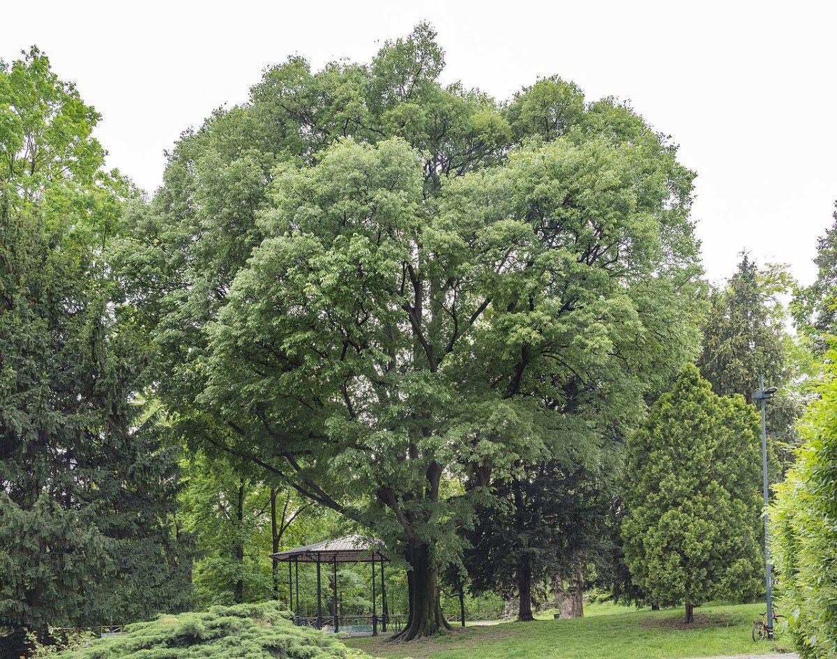 El almez es un árbol precioso para jardín