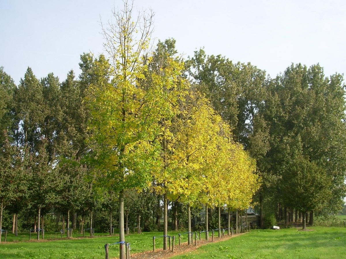 arboles altos con tronco muy fino, llamado Fraxinus pennsylvanica