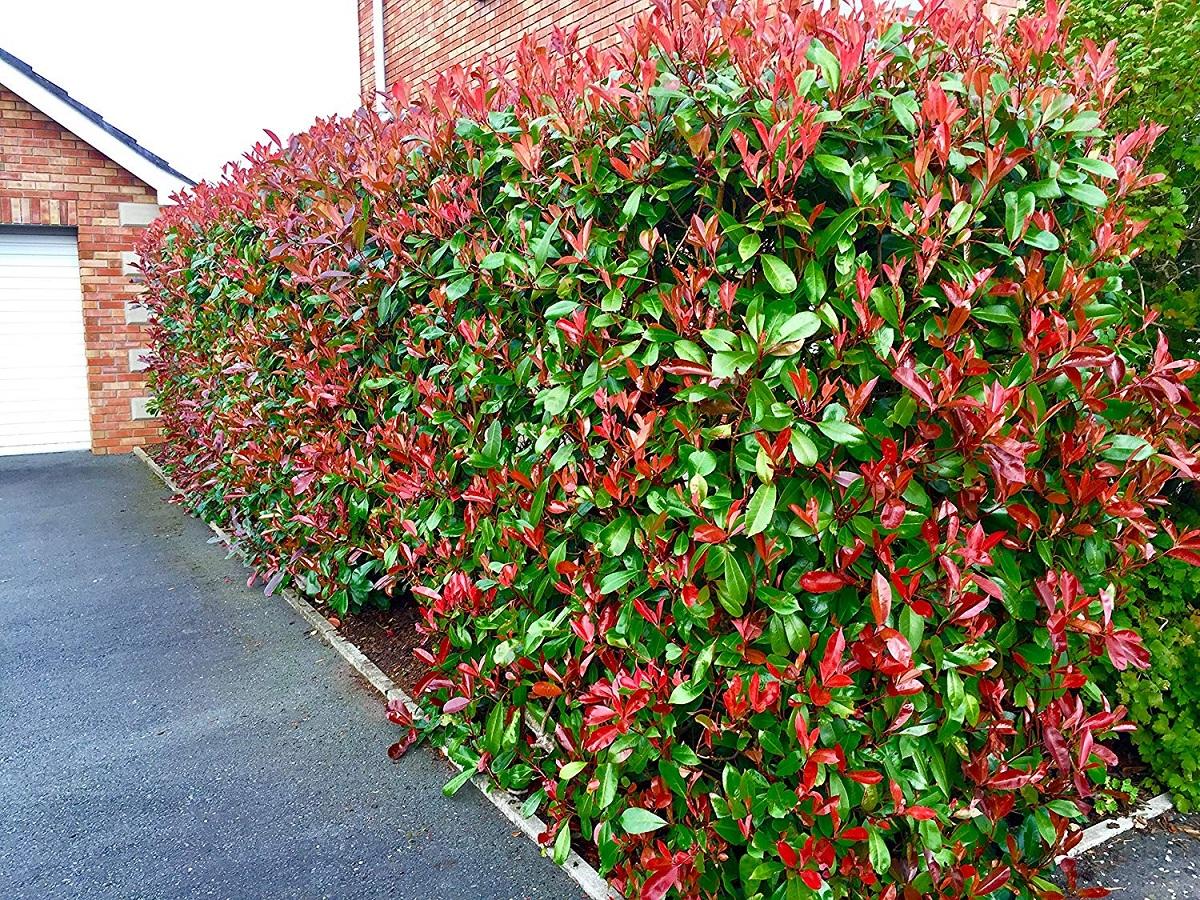 arbusto con gran colorido en la entrada de una casa