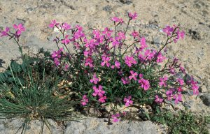 arbusto que sobre sale del suelo con flores rosas