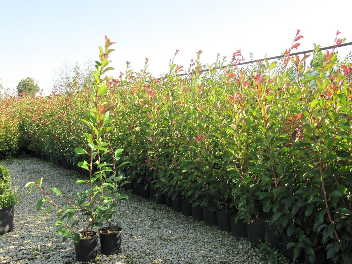 arbustos o pequenos arboles en macetas