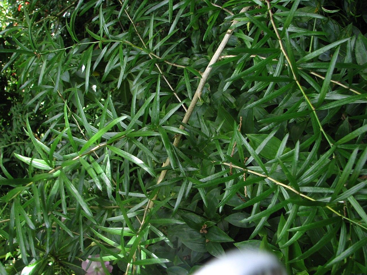 Vista del Asparagus falcatus