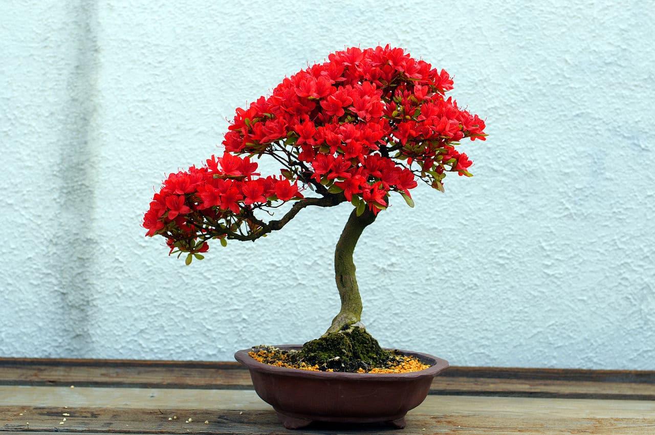 Vista del bonsái de azalea en flor