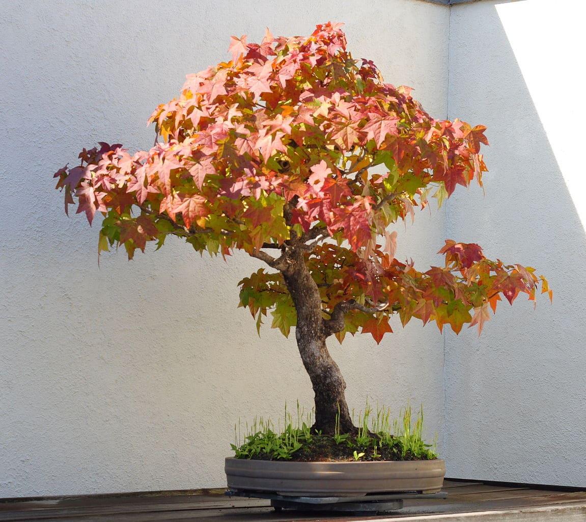 Vista del bonsai de liquidambar