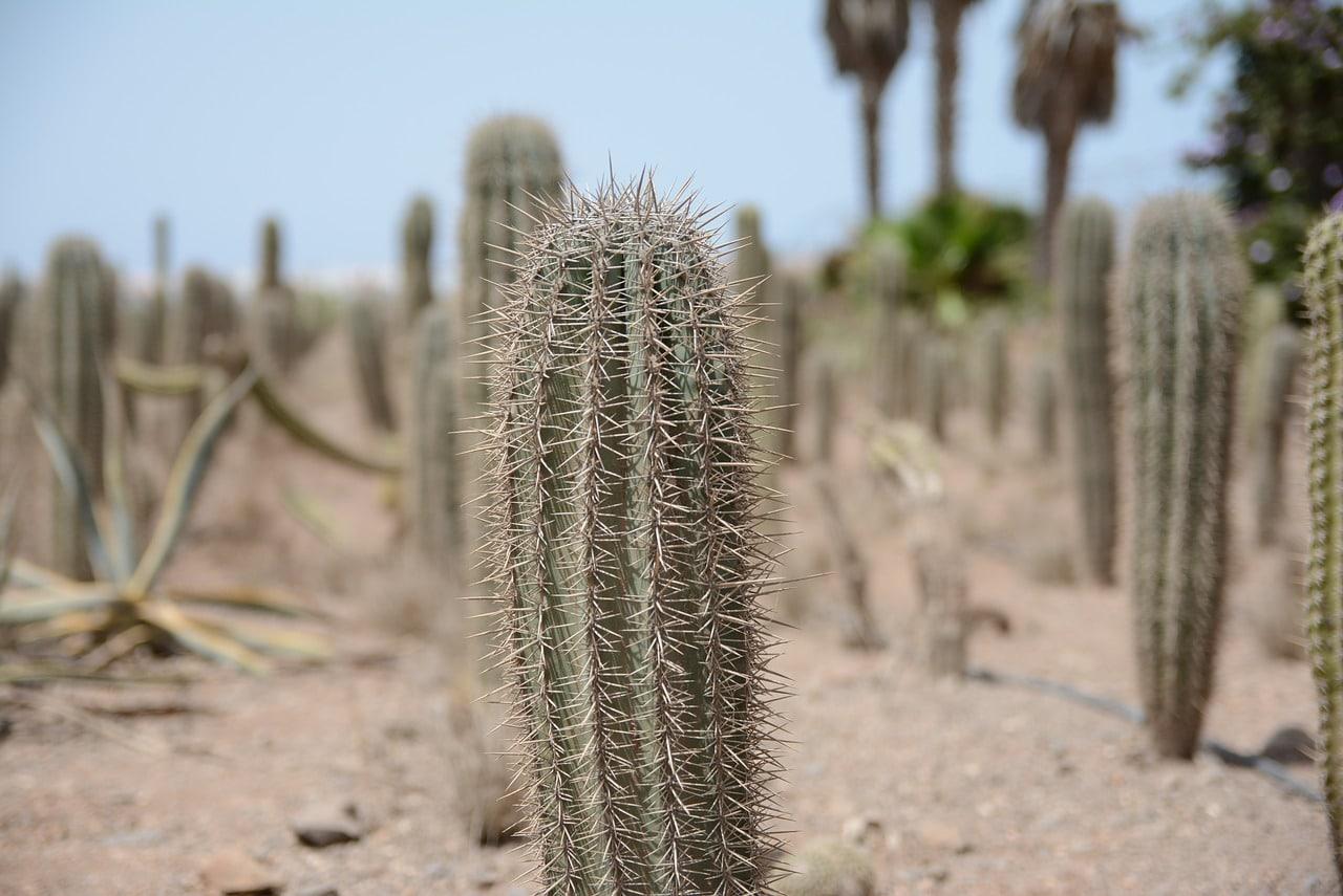 Los cactus tienen espinas para reducir la pérdida de agua