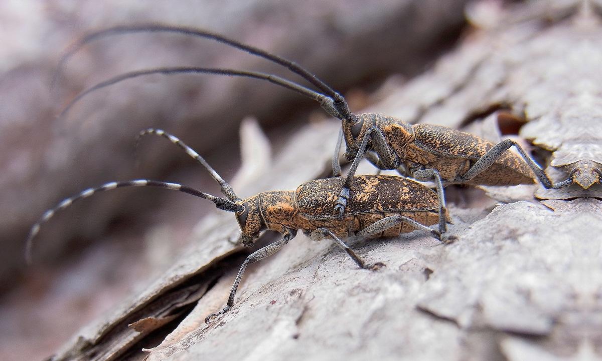 dos insectos con antenas muy largas y llamados Monochamus galloprovincialis