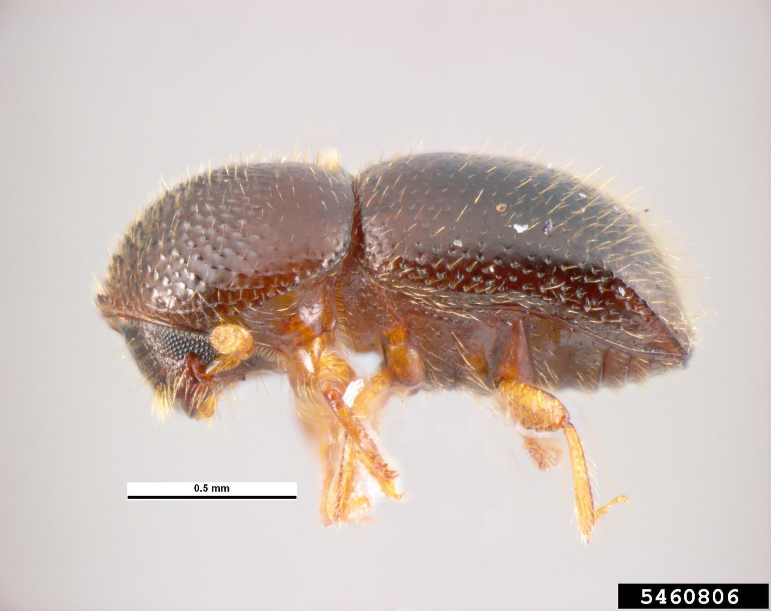 Vista del escarabajo perforador de árboles