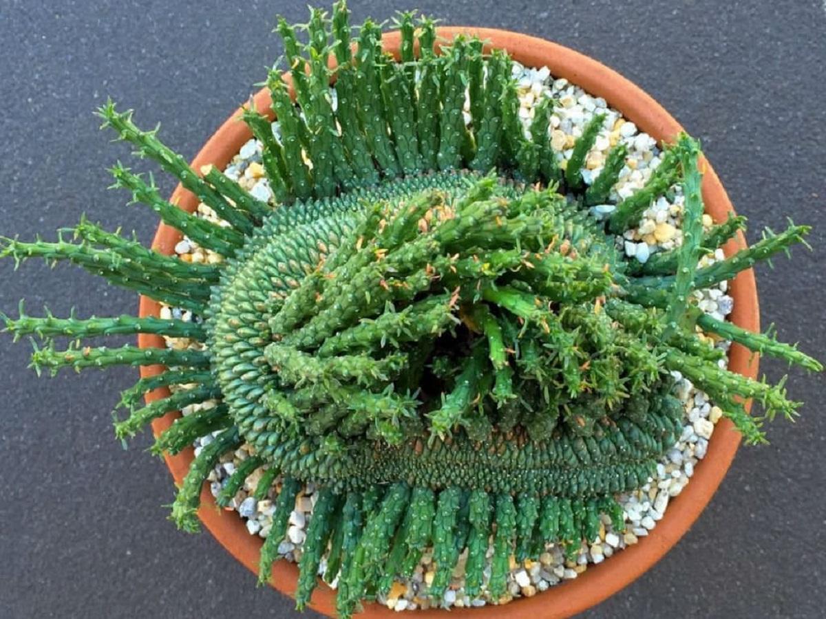 especie rara de Euphorbia en maceta