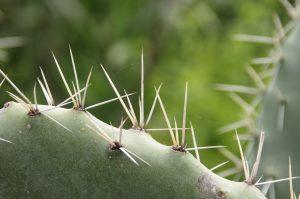 Las espinas de los cactus son hojas modificadas