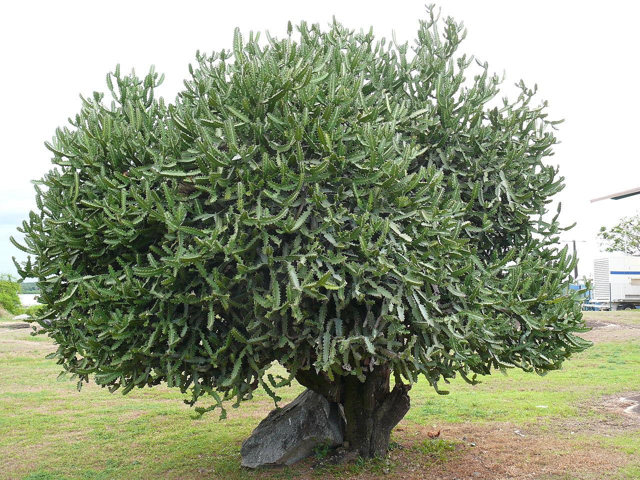 La Euphorbia lactea es una suculenta arbórea