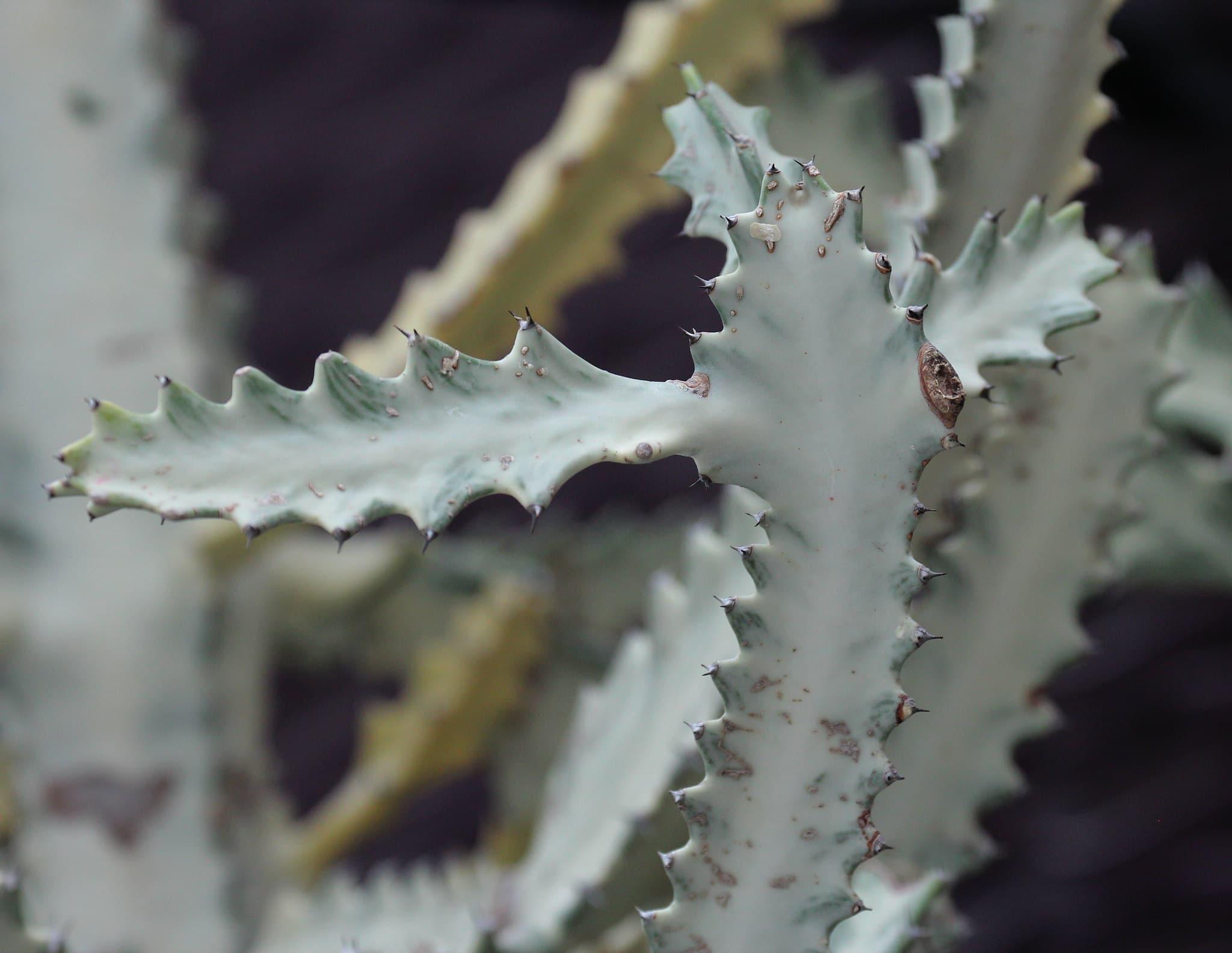 Vista de la Euphorbia lactea cv Grey Ghost