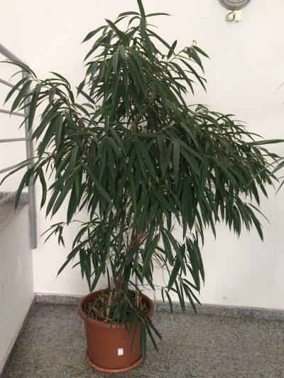 El Ficus Alii es un árbol perennifolio