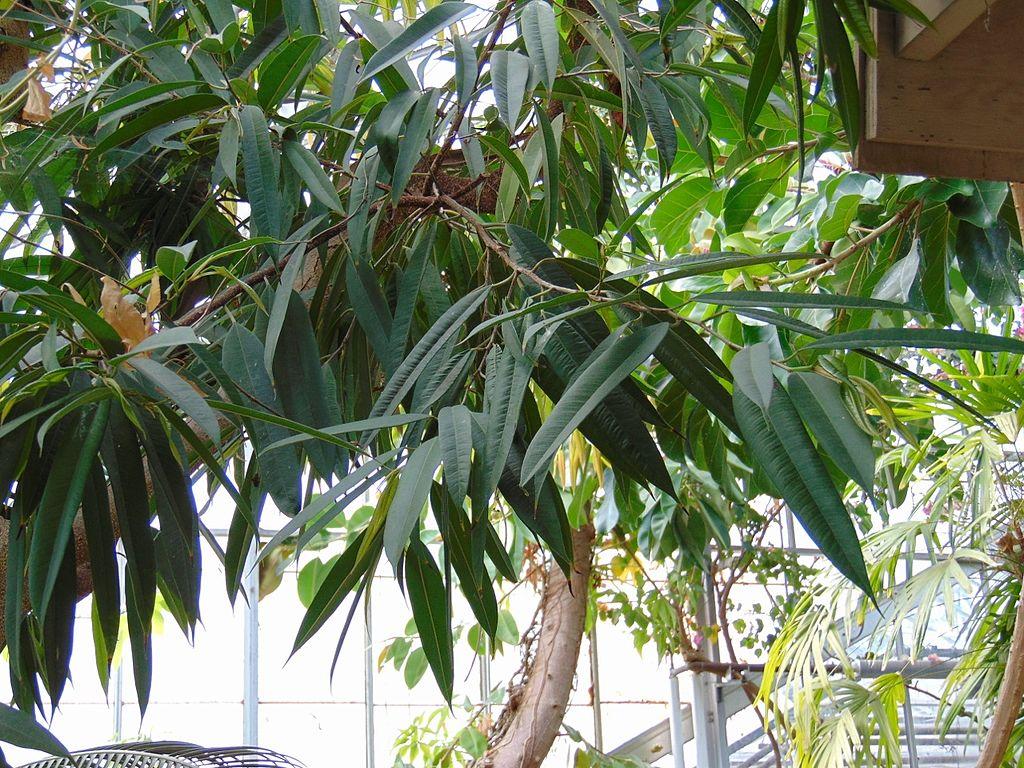 El Ficus Alii es un árbol de hoja estrecha