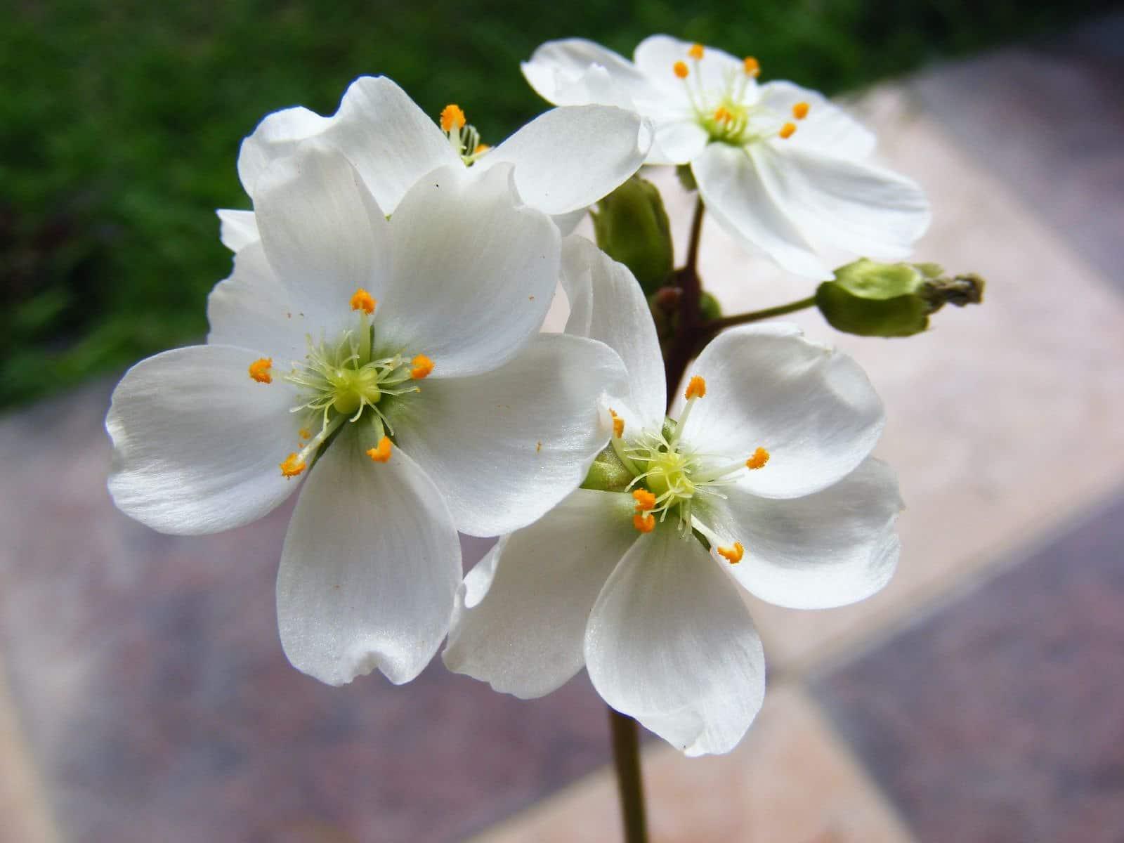 La flor de Drosera binata brota en primavera