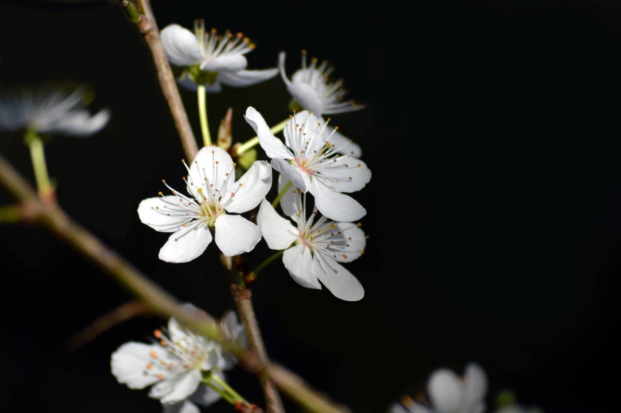 El almendro es un árbol precioso y resistente