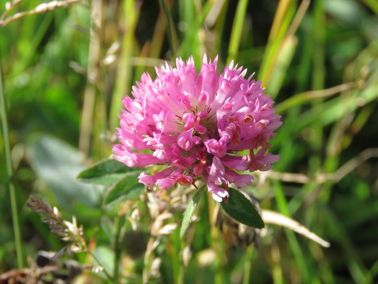 La flor del trébol rojo es de color rosa