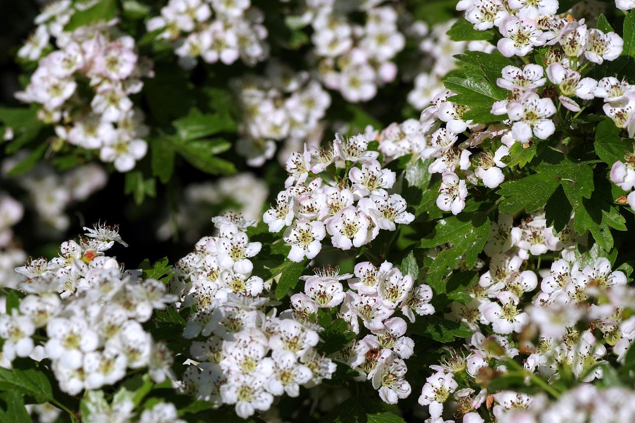 Las flores del Crataegus son blancas