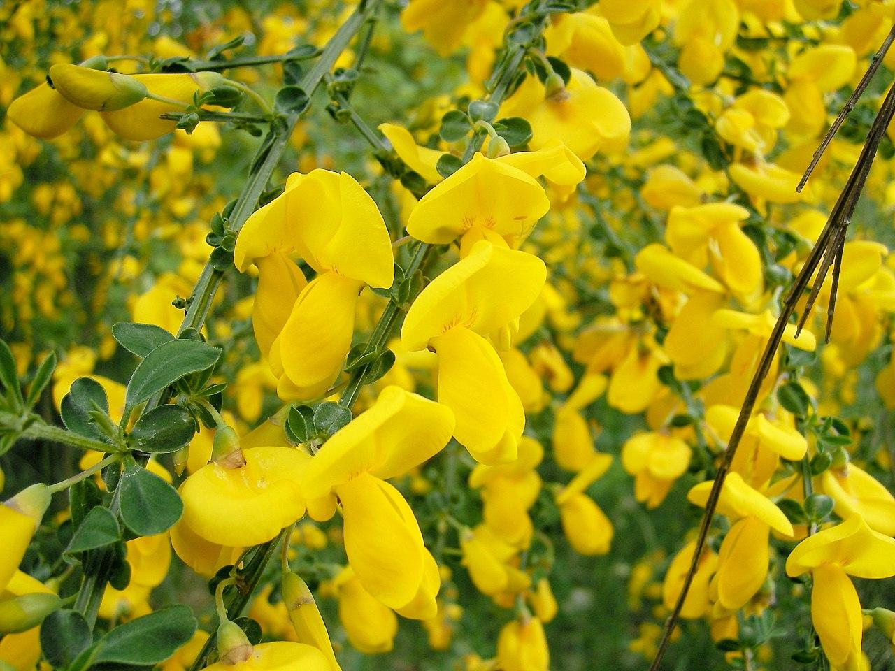 Las flores de los Cytisus pueden ser amarillas