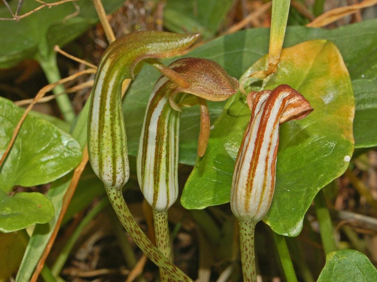 flores de planta llamada Arisarum vulgare que parecen frailes