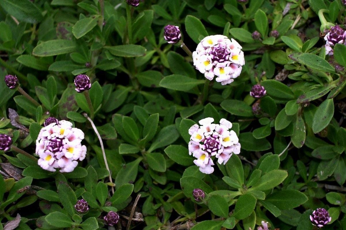 flores redondas que van de un color blanco a uno rosado