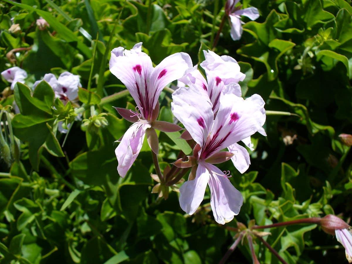 flores vista de cerca de dos colores