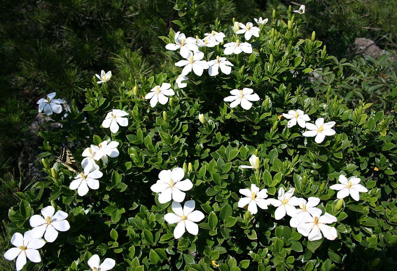 Vista de la Gardenia jasminoides