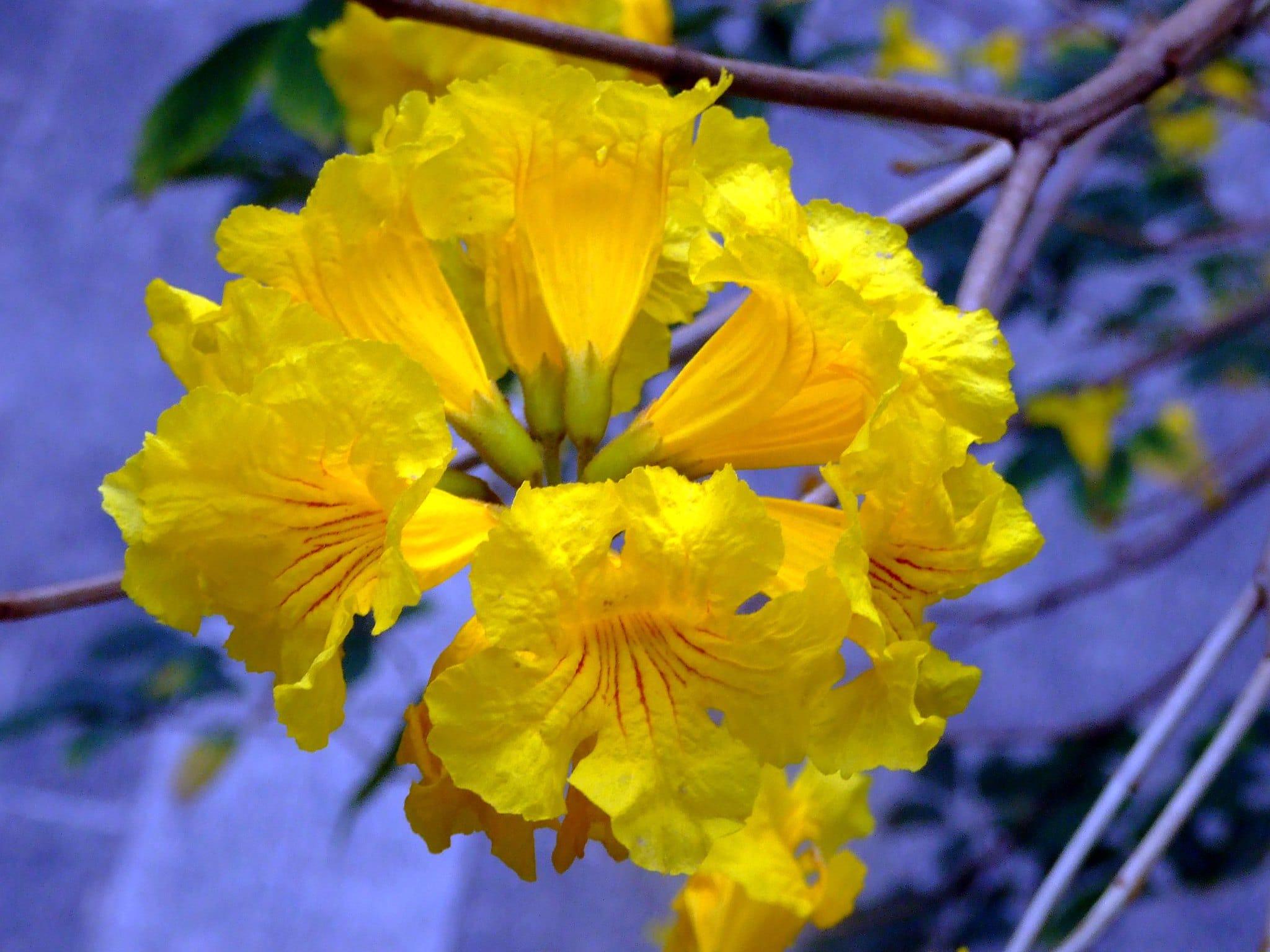 Vista de las flores del guayacán amarillo