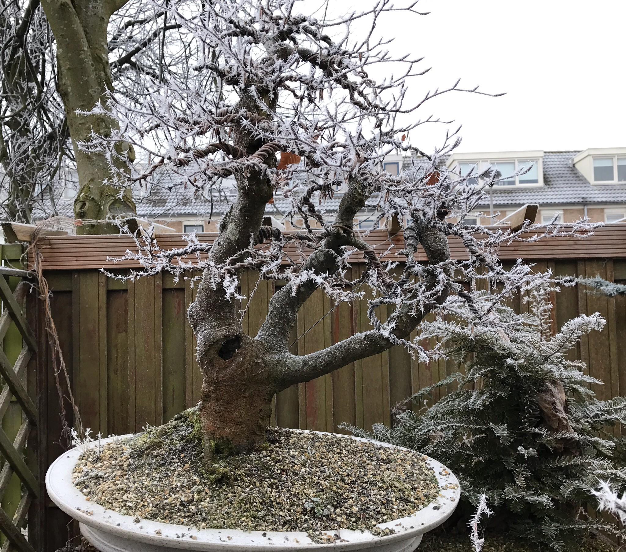 Vista del bonsai de haya en invierno