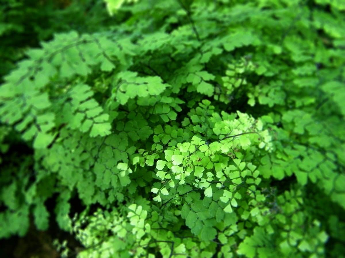 helecho con pequenas hojas de color verde