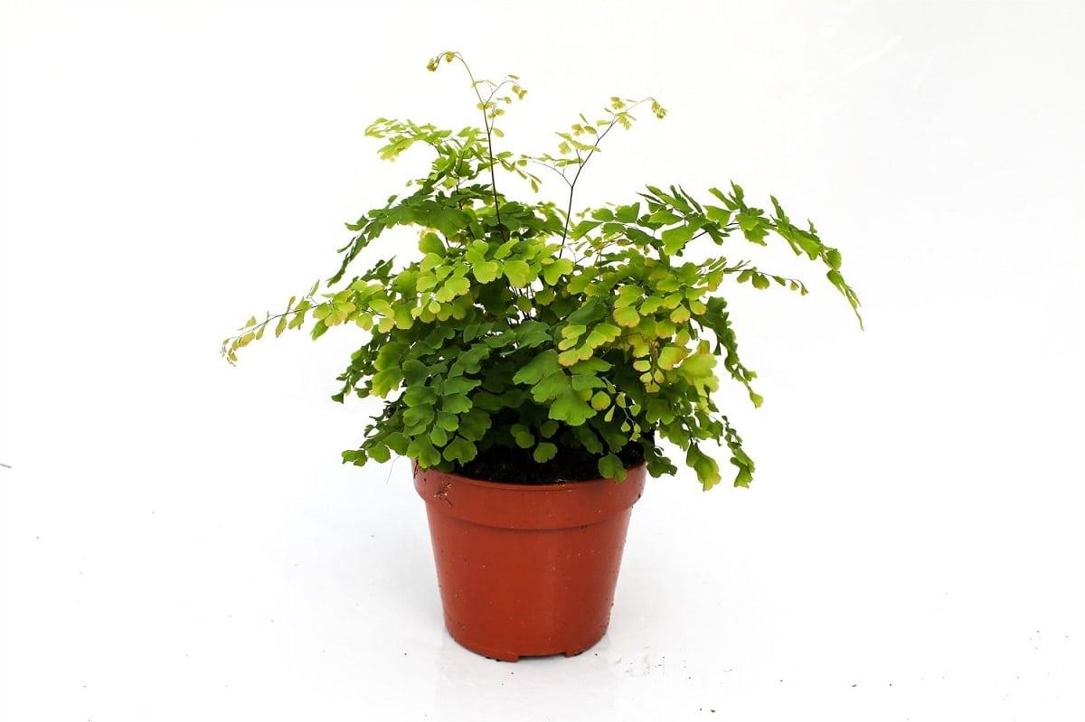 helecho cuyo nombre es Adiantum raddianum plantado en maceta