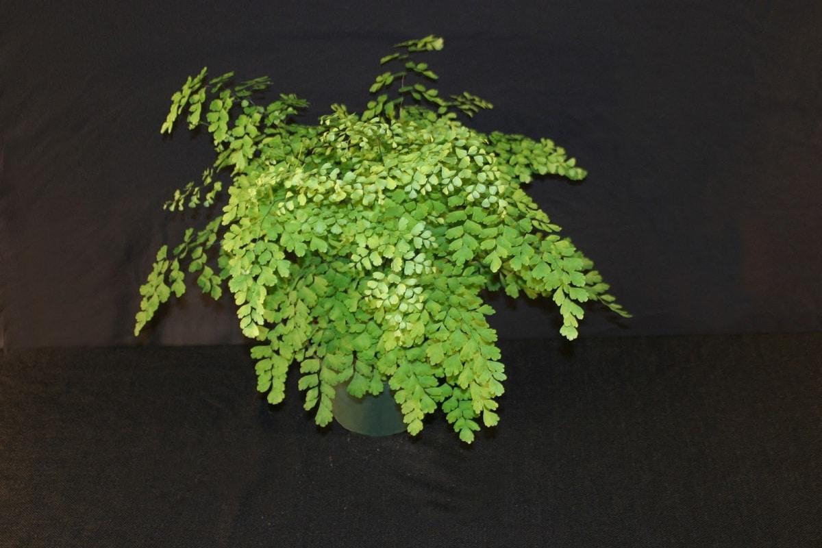 helecho o Adiantum raddianum plantado en maceta