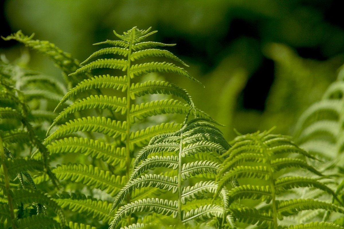 El helecho es una planta primitiva