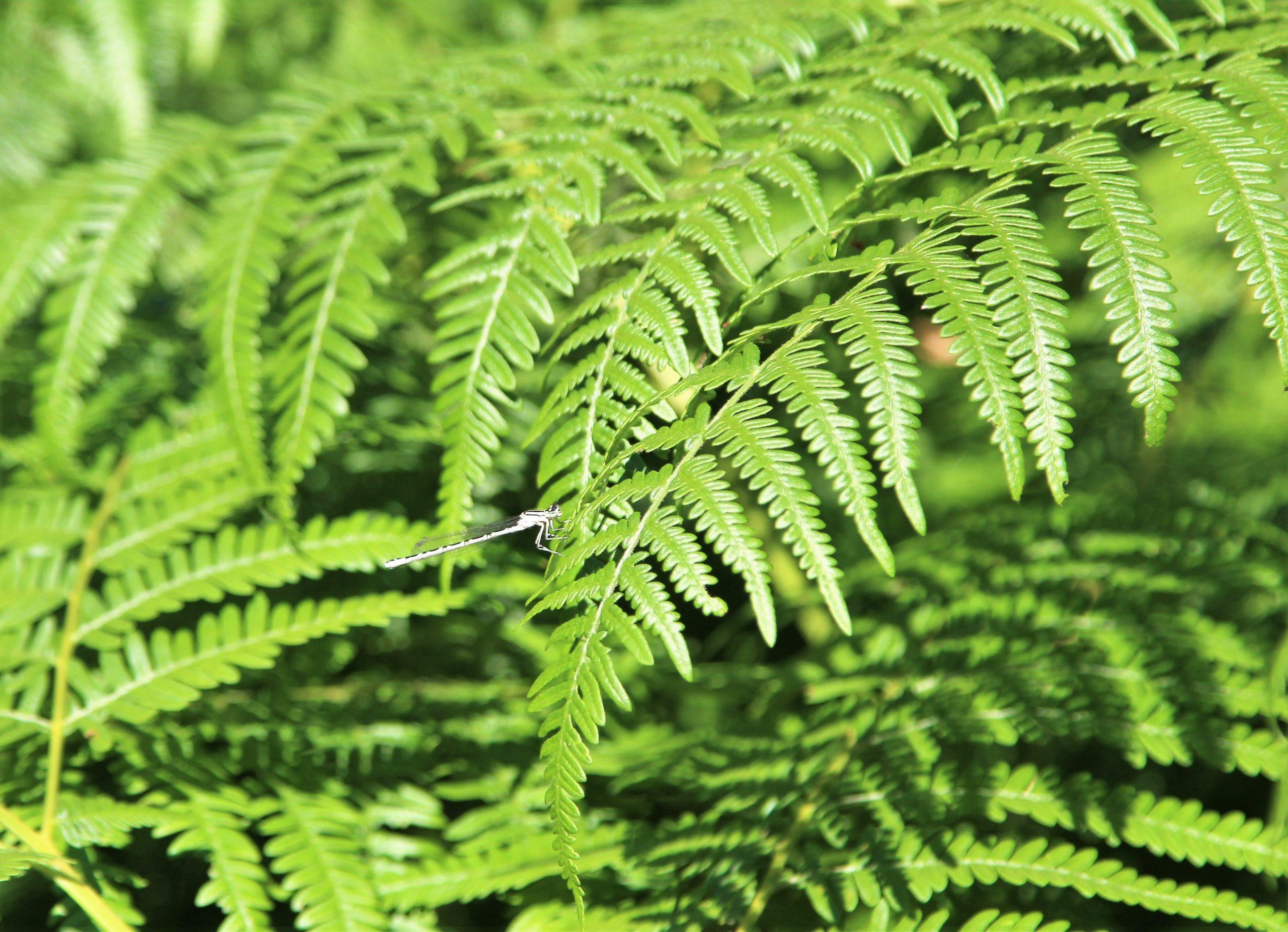 Los helechos suelen tener hojas verdes