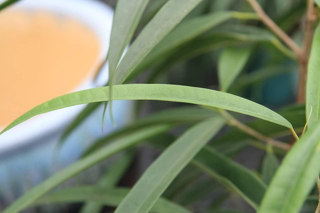 Las hojas del Ficus Alii son lineares