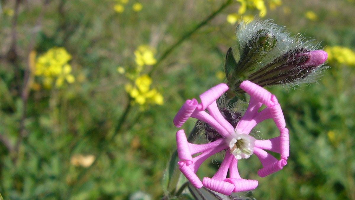 imagen de cerca de una flor de color rosa abierta