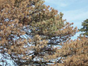imagen de un pino donde se ven sus ramas totalmente secas