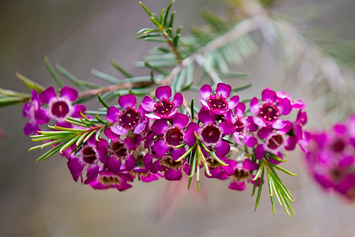 imagen de una rama de flores rosas llamadas Chamelaucium uncinatum