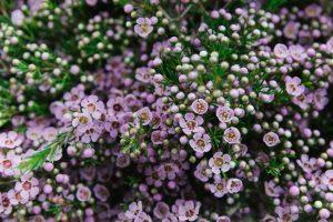 impresionante arbusto con lores pequenas y rosaceas