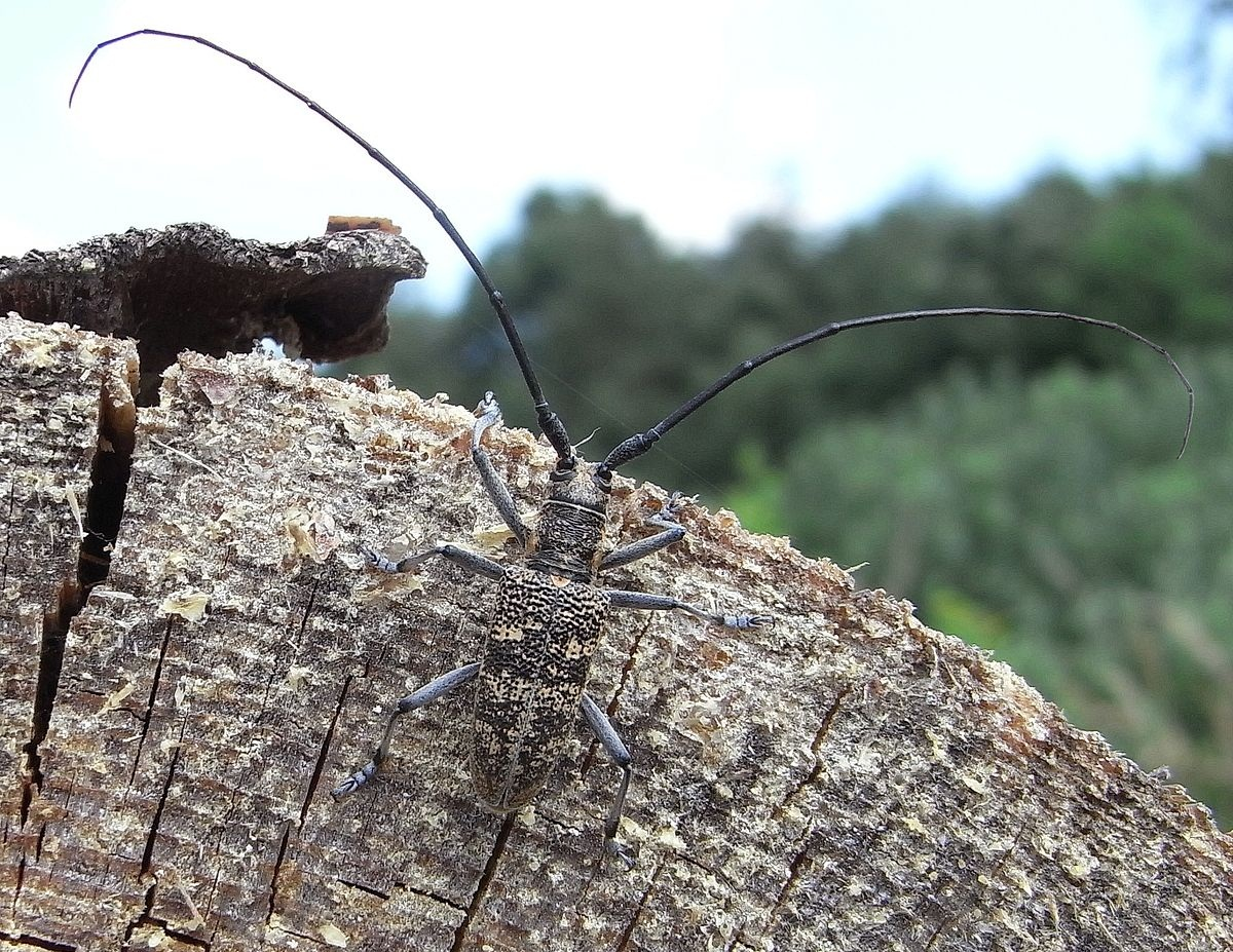 insecto encima un tronco cortado de un pino muerto